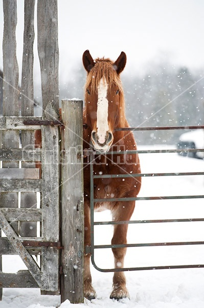 Belgian Draft Horse in Winter
