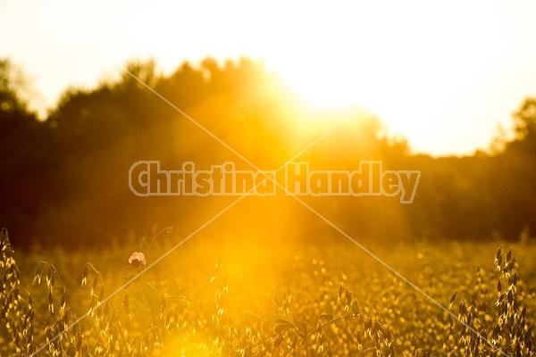 Field of oats in the setting sun