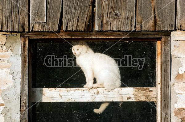 White barn cat sitting in barn window