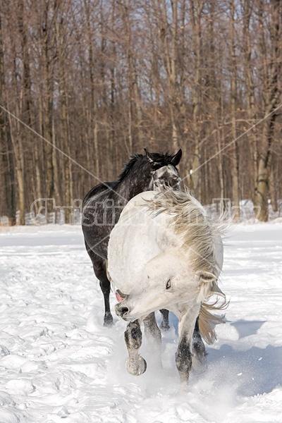 Two horses galloping through deep snow