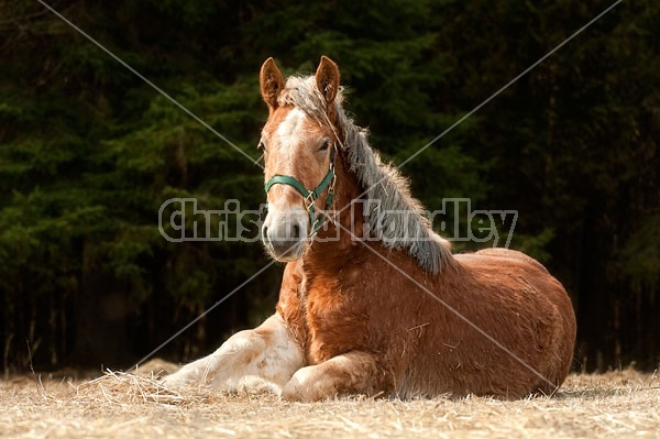 Young Belgian Horse Lying Down
