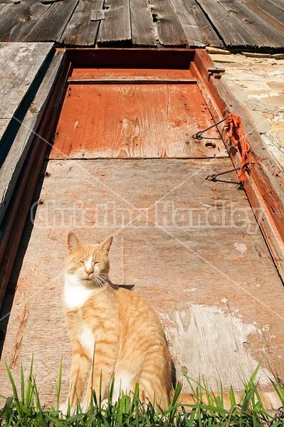 Orange barn cat sitting in front of red barn door