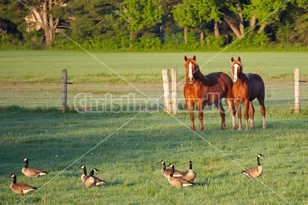 Two Belgian horses standing in a field watching a flock of Canada Geese