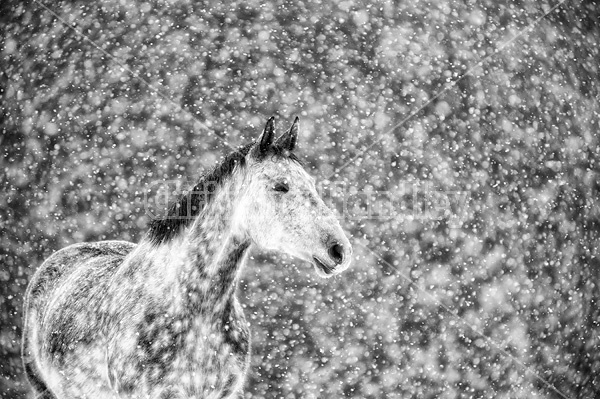 Photo of dapple gray horse in snowstorm