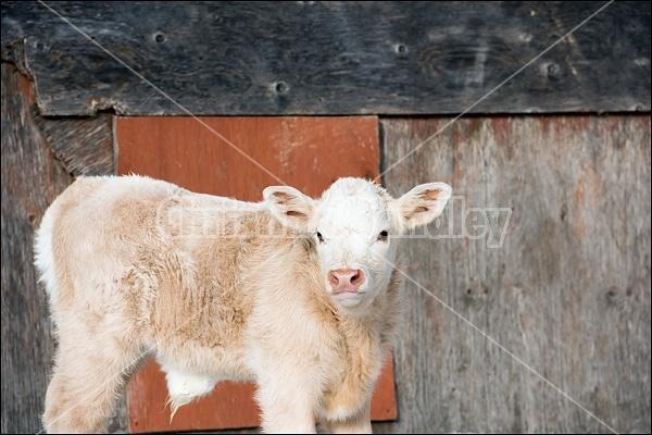 Young Charolais bull calf