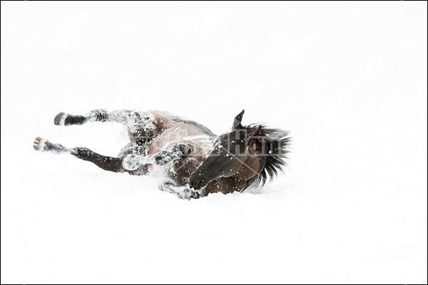 Dark bay horse rolling in the fresh snow
