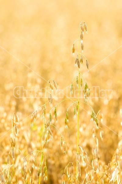 Closeup photo of oats