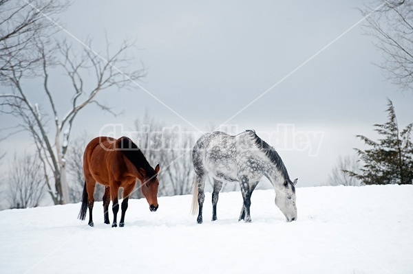 Photo of two horses in the snow