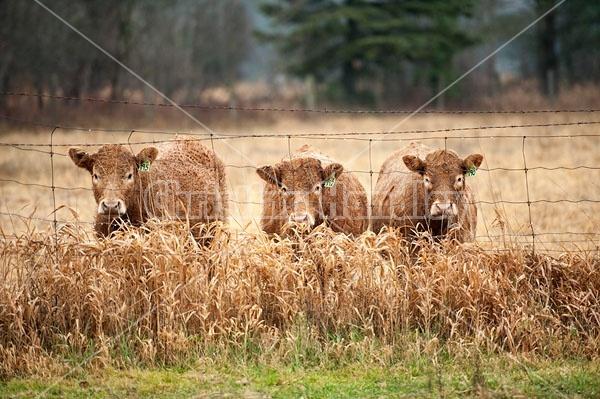 Three Charolais Cross Beef Heifers