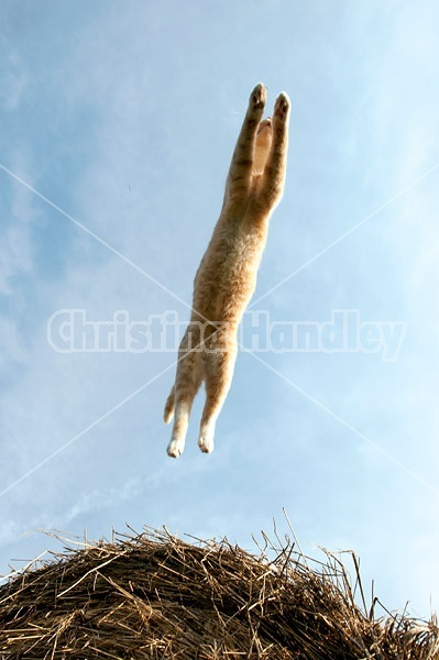 Orange barn cat jumping from one round bale of hay to another