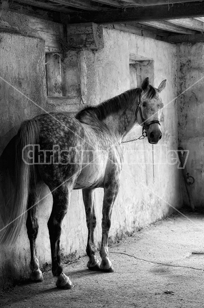 Photo of a dapple gray horse tied  in wash stall