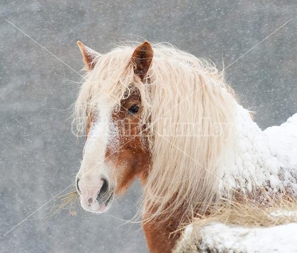 Belgian draft horse eating hay in snowstorm