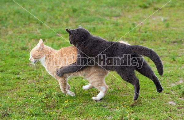 Two cats playing outside in the grass