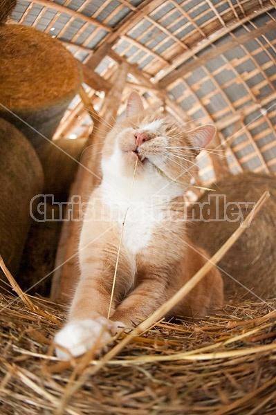Orange barn cat palying with straw