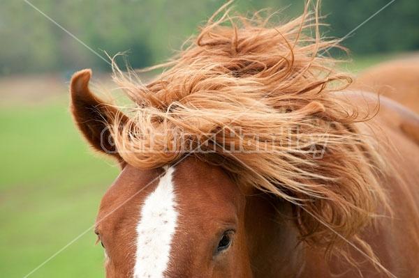 Belgian draft horse shaking his head