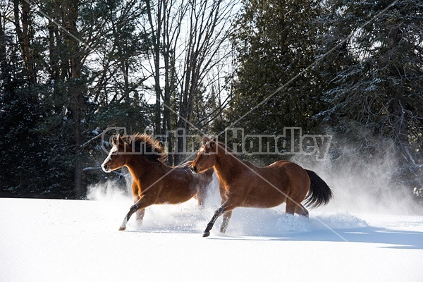 American quarter horse and American paint horse running in deep snow