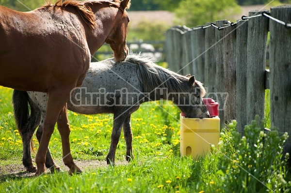 horses drinking from automatic water bowl