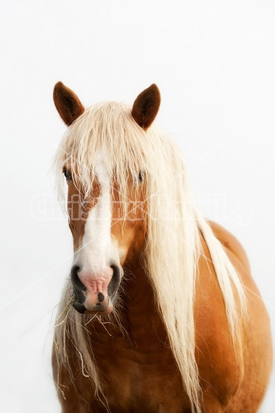 Portrait of a Belgian draft horse