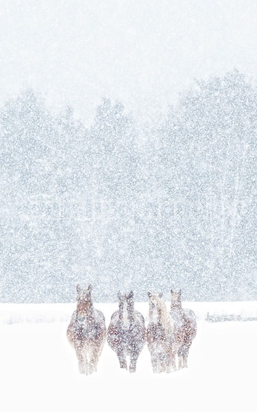 Photo of Belgian draft horses in the snow