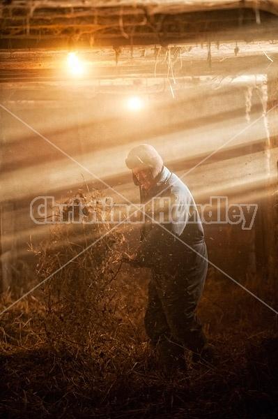 Farmer spreading straw in barn