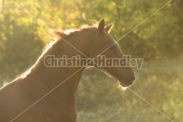 Protrait of Thoroughbred horse