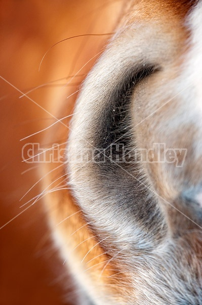 Close-up photo of horse nostril