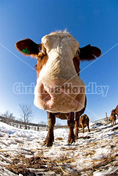 Looking up at beef cows standing in the snow