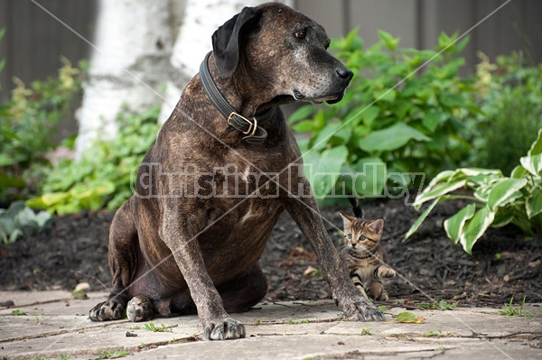 Young kitten and big dog meet for the first time. Kitten backs away slowly