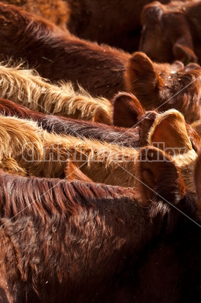 Closeup of beef cows