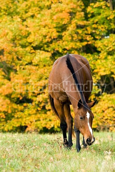 Horse grazing on autumn pasture