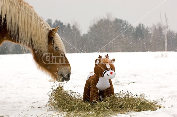 Belgian Draft horse sniffing stuffed pony