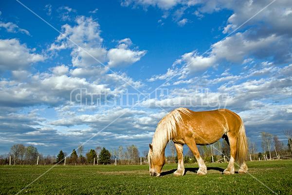 Belgian draft horse grazing on summer pasture