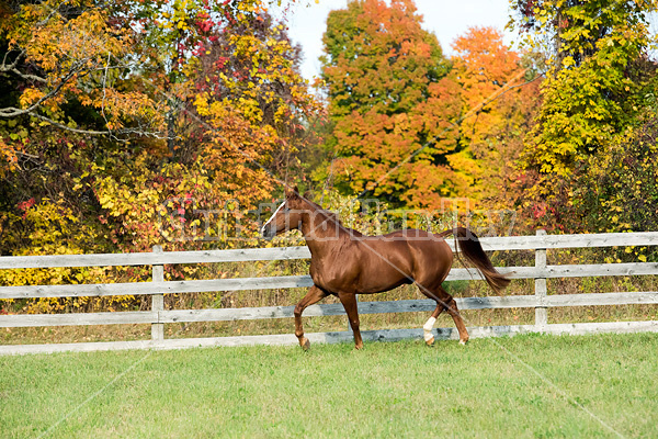 Thoroughbred horse galloping in fenced paddock in the autumn colors