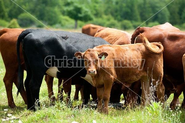 Herd of Beef Cattle