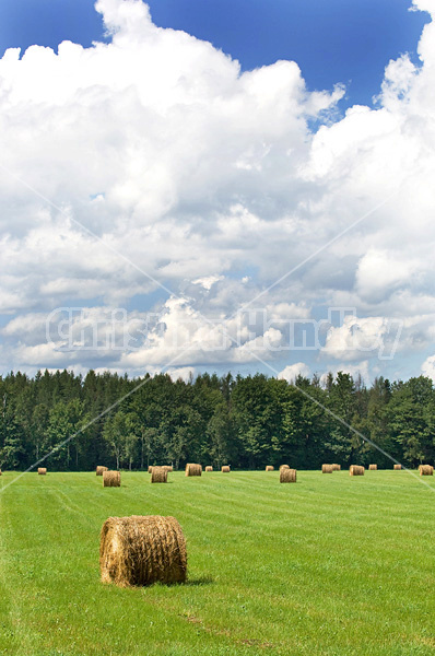 Round bales of hay in a field.