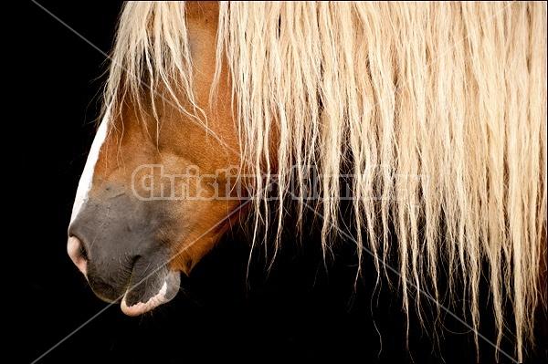 Belgian Draft Horse in Shadow