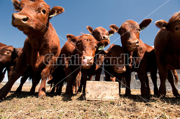 Wide angle photo of a herd of beef cattle