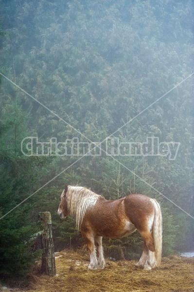 Belgian draft horse standing in the fog