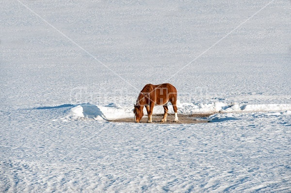 Belgian horse in field of snow