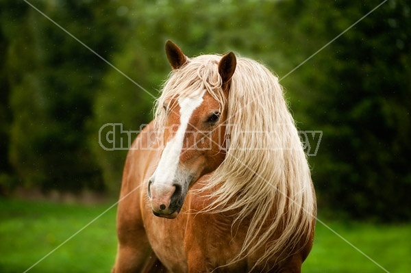Portrait of a Belgian draft horse