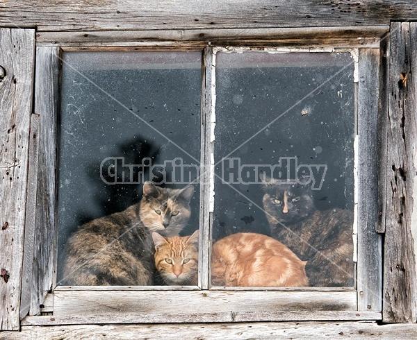 Three barn cats in a barn window