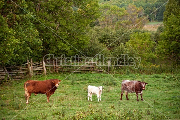 Bull, cow and calf