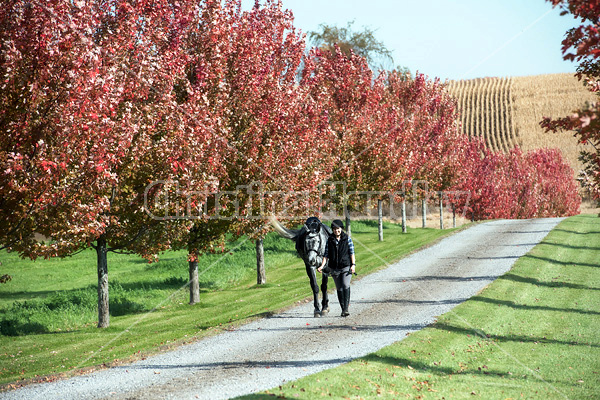 Young woman leading gray horse down driveway surrounded by fall colored leaves