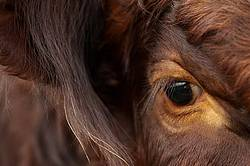 Close-up photo of cows eye and face