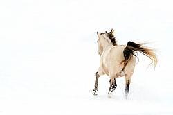 Rocky Mountain Horse Running in Deep Snow
