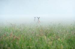 Two deer in a field on a foggy morning.