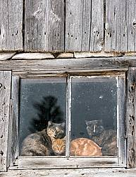 Three barn cats in a barn window