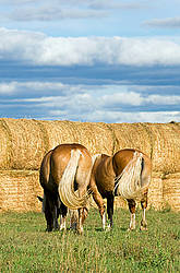Two Belgian draft horses grazing on summer pasture.