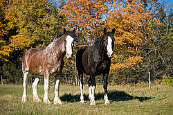 Two horses in the autumn colors
