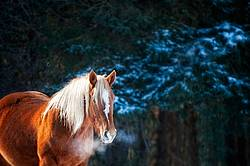 Photo of a Belgian draft horse standing in the trees